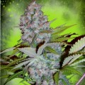 Ministry-of-Caannabis-Auto-Cheese-NL-1.jpg