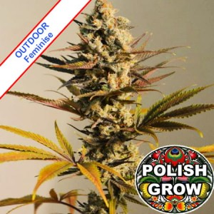 Critical Kush Fast Version Outdoor Feminise